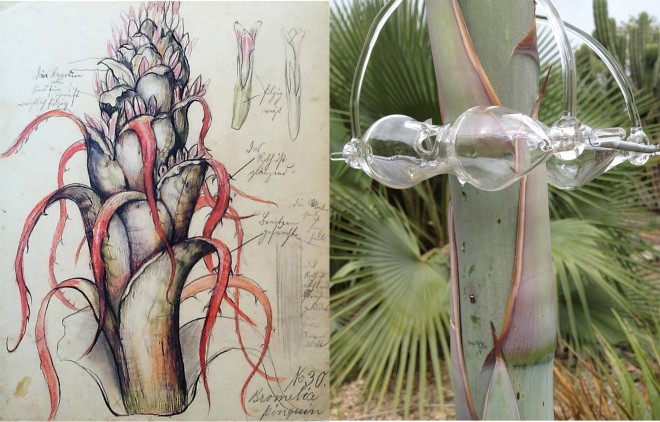 Left: Rudolf and Leopold Blaschka, Bromelia pinquin, Rat Pineapple (1894)  Right: Christian Thornton, hand-blown glass plotter on agave (2013)