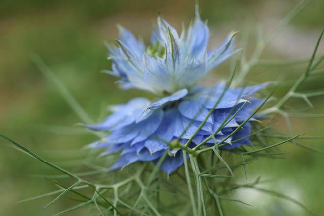 Love-in-a-mist (Nigella damascena) Photo: Daniel Mount