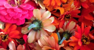 These humble zinnias bloomed all summer. Photo: Lorene Edwards Forkner