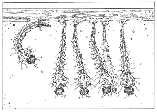 Mosquito larvae. Illustration: Craig Latker