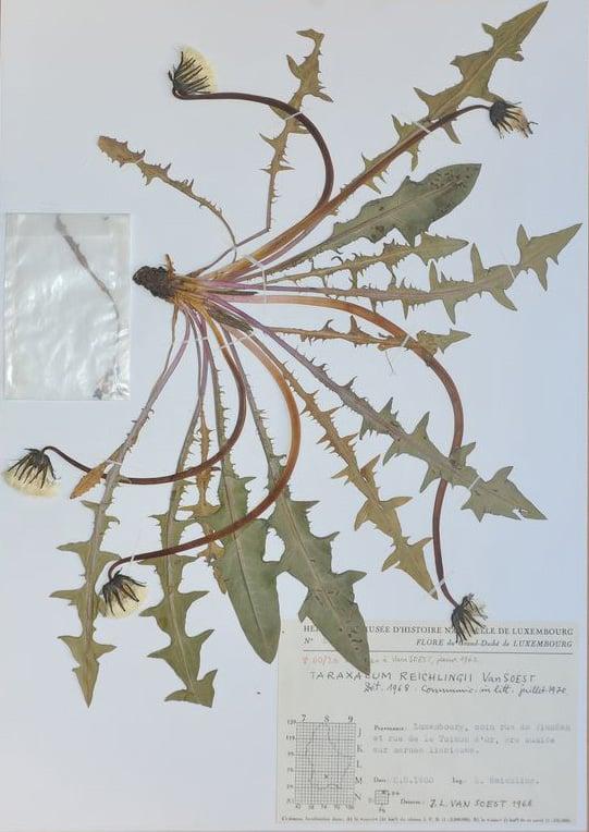 Type specimen of Taraxacum reichlingii v. Soest (LUX 26313). National Museum of Natural History, Luxembourg.  Photo: National Museum of Natural History, Luxembourg.