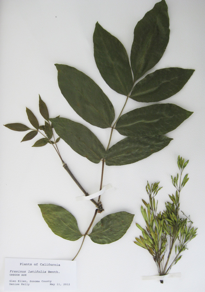 Dried specimen of Fraxinus latifolia, Oregon ash, with mature and immature leaves, twigs, and fruit, a winged samara.  Photo: Denise Kelly