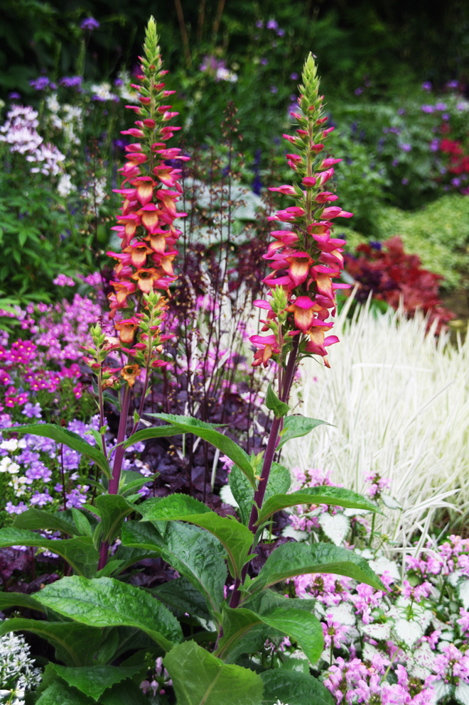 Digitalis 'Illumination Flame' (syn. Digiplexis™ Illumination™ 'Flame') produces continuous spires of blooms from summer through fall.  