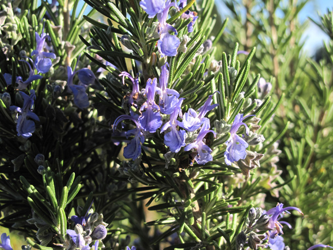 Flowering rosemary in the fall garden. Photo: Lorene Edwards Forkner