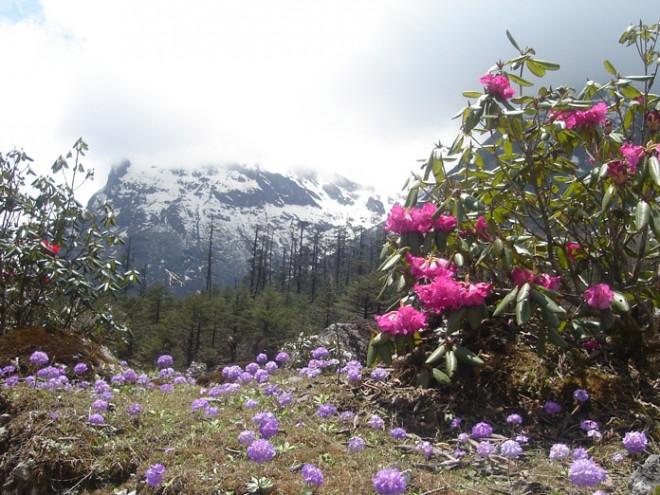 rhododendron_n_primula