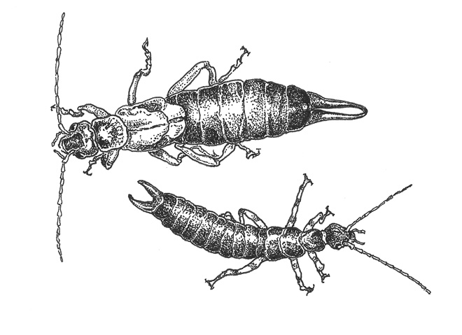 Top: Common earwig (forficula auricularia) Bottom: Ringlegged earwig (Euborellia annulipes) Illustration: Craig Latker