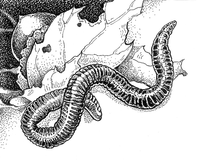 Red Wiggler (Eisenia fetida Illustration: Craig Latker