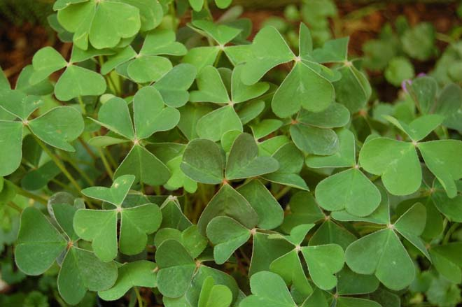 Redwood sorrel (Oxalis oregana).  Photo: Erle Nickel