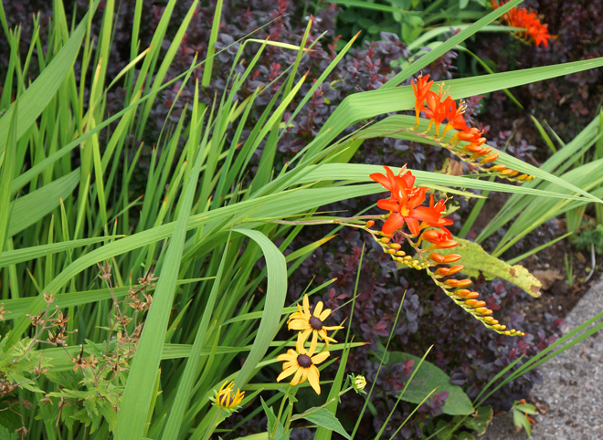 Crocosmia 'Firebird' Photo: Daniel Mount