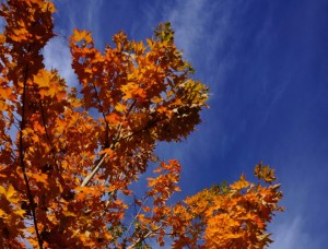 A sugar maple (Acer saccharum) glows in the autumn sky. Photo: Daniel Mount