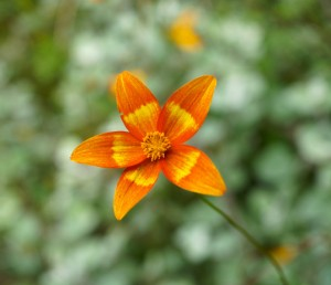 Bidens 'Hawaiian Flare Orange Drop' Photo: Daniel Mount