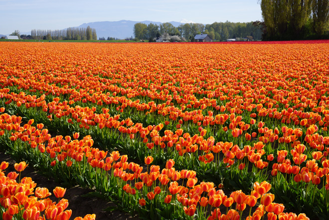 Raucous fields of spring tulips in the Skagit Valley in the Pacific Northwest. Photo: Daniel Mount