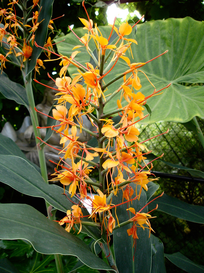 Hedychium 'Tara' Photo: Daniel Mount