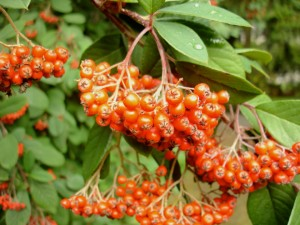 Pyracantha 'Mohave' Photo: Daniel Mount