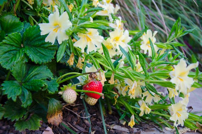 Beach strawberry (Fragaria chiloensis) and sticky monkey flower (Mimulus aurantiacus) make a great habitat combo. Photo: Teresa Renee Norris