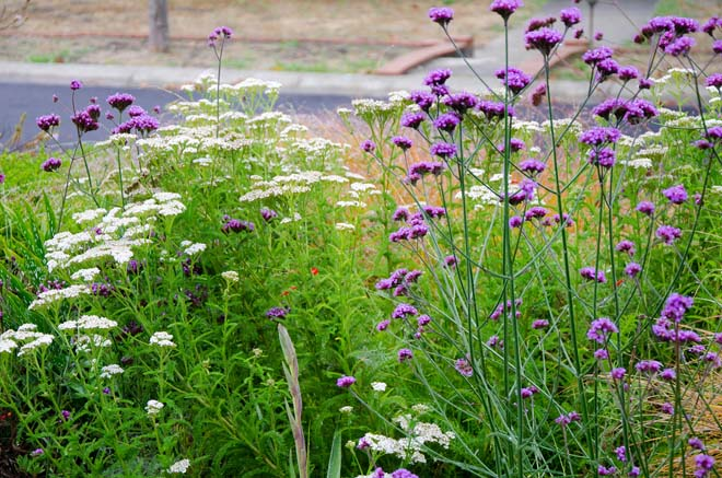 Yarrow, Verbena bonariensis, and Carex testacea mingle and mix in this lively composition that's both beautiful and attractive to pollinators. Photo: Teresa Renee Norris