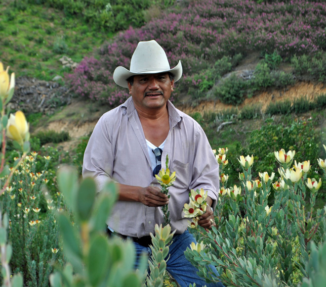 "Ismael ""Mel"" Resendiz inspecting the Leucadendron discolor 'Pom Pom' crop in March. Photo: courtesy of Resendiz Brothers Protea Growers"