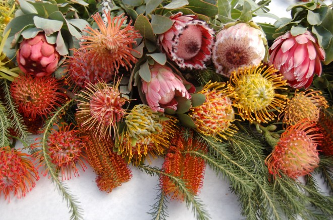 Coastal conditions in Southern California are conducive to producing a colorful and lasting harvest. Photo: courtesy of Resendiz Brothers Protea Growers