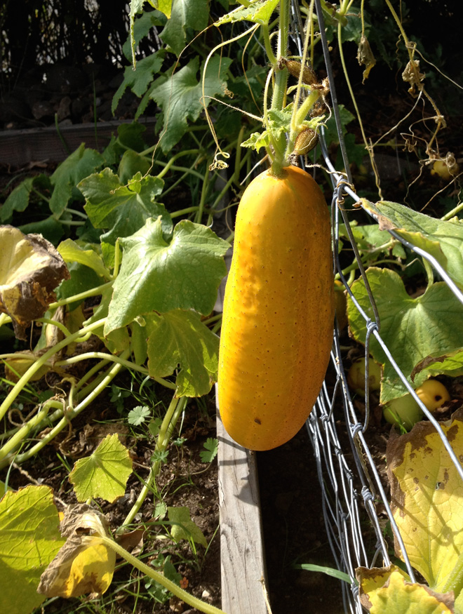This cucumber is fully ripened and ready for seed harvesting. Photo: The Living Seed Company