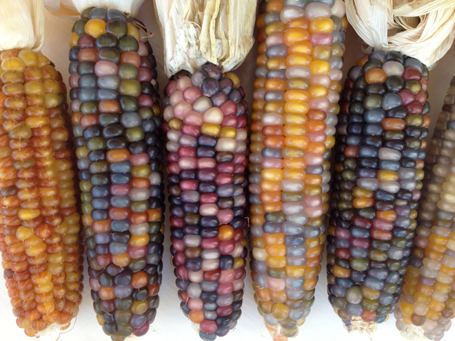 'Glass Gem' corn is a wind-pollinated modern heirloom selected by Carl Barnes.  Photo: The Living Seed Company