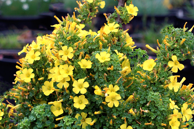 Oxalis gigantea Photo: Annie's Annuals & Perennials