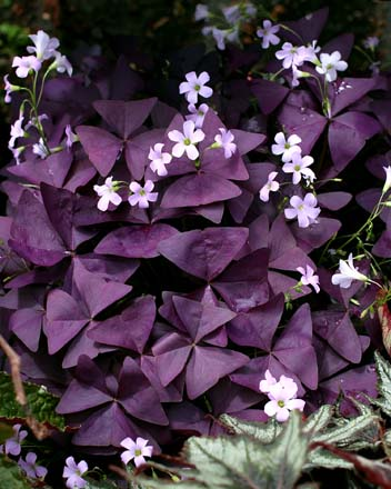 Oxalis triangularis  Photo: Annie's Annuals & Perennials