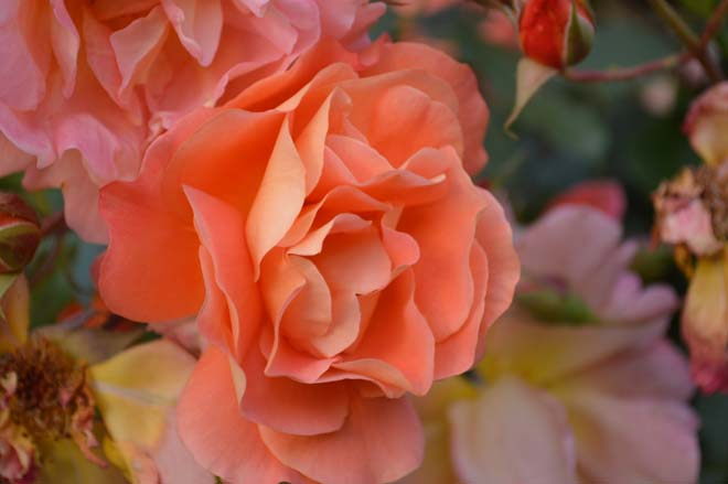 Rosa 'Westerland' Photo: Daniel Mount