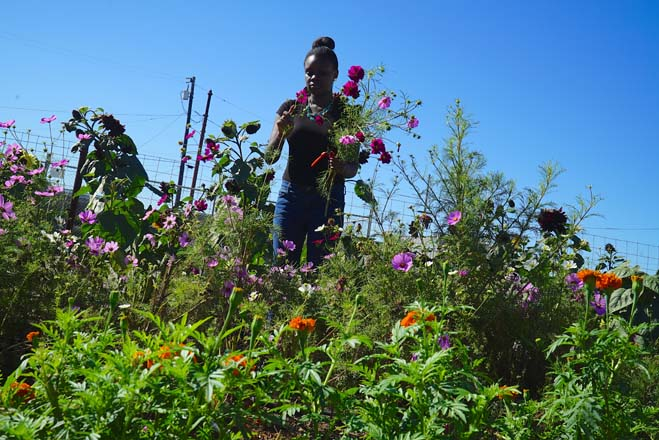 Adreona harvests cosmos to include in mixed bouquets.  Photo: Timi Devlin