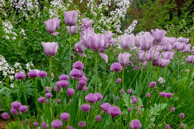 Tulipa 'Bleu Amiable', chives, and dame's rocket (Hesperis matronalis) Photo: Daniel Mount