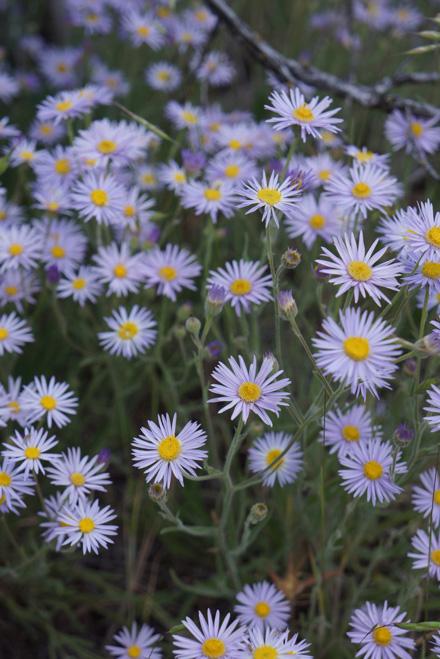 Foothill daisy (Erigeron corymbous) Photo: Daniel Mount