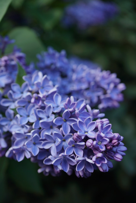 Syringa vulgaris 'President Lincoln' Photo: Daniel Mount