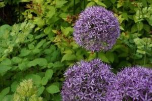 Allium 'Purple Sensation' Photo: Daniel Mount