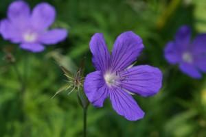 Geranium 'Nimbus' Photo: Daniel Mount