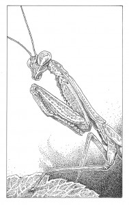 California mantis (Stagmomantis californica) Illustration: Craig Latker