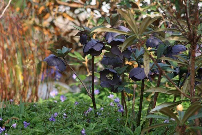 A resilient prima donna of the spring garden stage, Helleborus ×hybridus.  Photo: Richie Steffen, Great Plant Picks