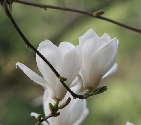 Early flowering magnolias, like Magnolia denudata, herald the season. Photo: Richie Steffen, Great Plant Picks