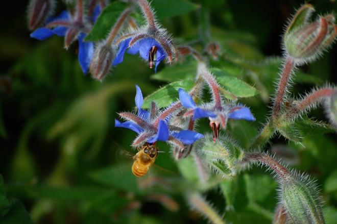 Easy-to-grow borage is a bee favorite.  Photo: Dan Corum