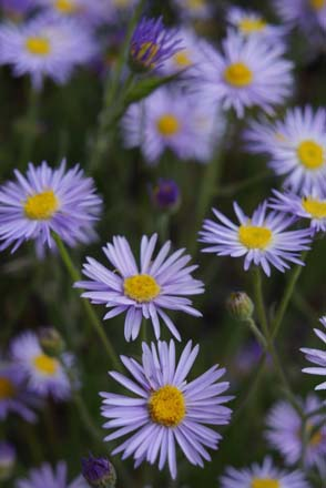 Foothill daisy (Erigeron corymbosus), Steamboat Rock State Park, Electric City, Washington. 