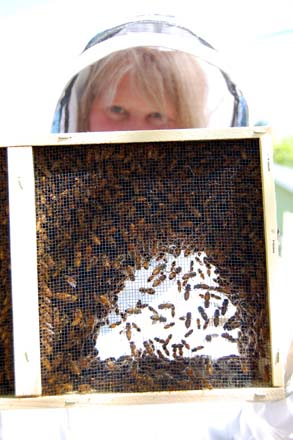Kate shows off a healthy frame of industrious bees. Photo: Dan Corum