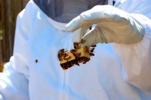 Queening the hive. Photo: Dan Corum