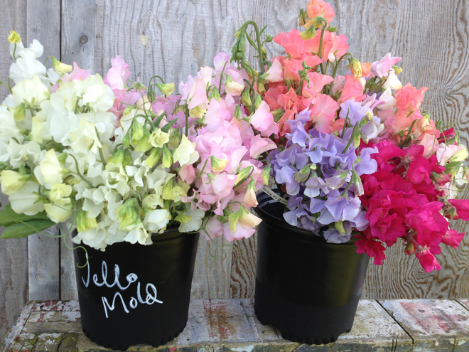 Sweet peas are a sentimental favorite with Jello Mold Farm customers. Photo: Diane Szukovathy