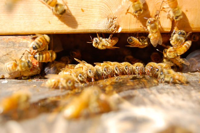 Social, hive-oriented honeybees are the very picture of industry.  Photo: Dan Corum