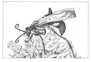 Tarantula hawk (Pepis thisbe) Illustration: Craig Latker