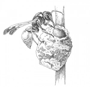 Potter wasp on nest (Eumenes sp.) Illustration: Craig Latker
