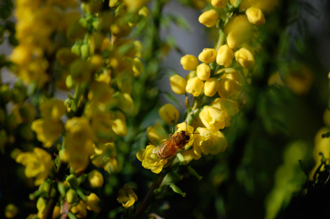 Early flowering Mahonia is a good bee plant providing nectar and pollen as well as the golden blooms, which our honeybees seem to prefer.  Photo: Dan Corum