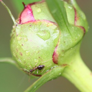 Ant on peony bud  Photo: R. A. Nonenmacher via Wikimedia Commons