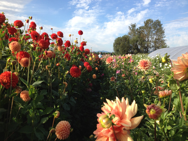 Dahlias await harvest in the late summer in the fields at Jello Mold farm. Photo: Diane Szukovathy