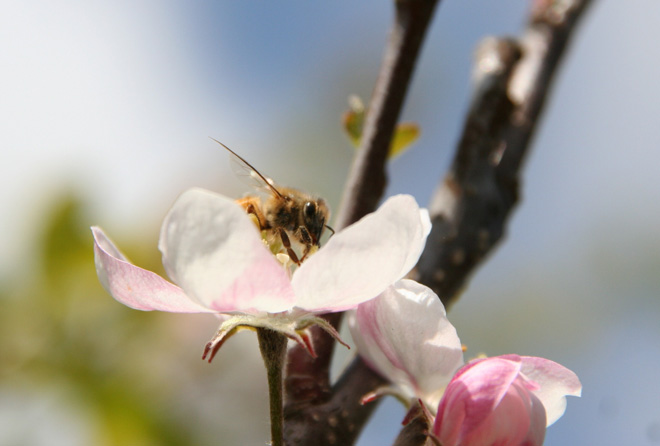 Many fruit trees, like this apple, rely on healthy pollinators for crop production.  Photo: Trevor Shirk