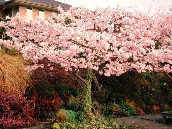 The breathtaking blossoming canopy of Prunus ×yedoensis 'Akebono'. Photo: Richie Steffen, Great Plant Picks