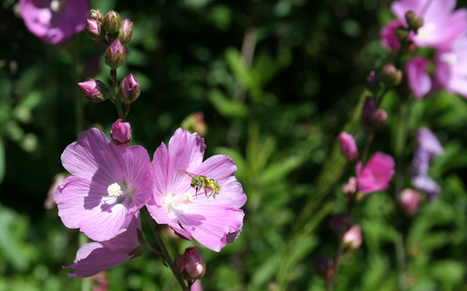 Sweat bee visiting a native California checkers plant (Sidalcea neomexicana).  Photo: Genevieve Schmidt